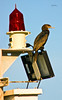 Getting Some Sun (wyojones) Tags: light galveston bird energy texas wildlife solarpanel electricity plug np galvestonbay doublecrestedcormorant phalacrocoraxauritus shipchannel portbolivar navigationallight bolivarroads wyojones navigationalbouy