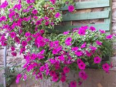 Greece is... (sifis) Tags: flowers garden greece sakalak