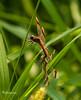 LIBELLULE!! (Roberto.mac.) Tags: landscapes natura campagna baci click colori amore libellule steli dolcezze aour derba robertomac