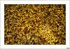Luz en otoño (V- strom) Tags: otoño luz hojas amarillo texturas naturaleza nikon nikon2470 nikon50mm detalles flora