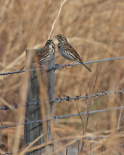 Savannah Sparrows (Passerculus sandwichensis)