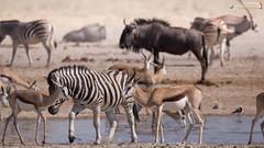 Waterhole impressions (dieLeuchtturms) Tags: 2x1 africa afrika antidorca antilopen antilopinae antilopini artiodactyla blauesgnu bovidae connochaetestaurinus equidae equusquagga etoshanationalpark gazellenartige gemsbok hippotragini hornträger namibia oryx oryxantilope paarhufer pecora perissodactyla pferde pferdeböcke ruminantia spiesbock springbock steppenzebra stirnwaffenträger streifengnu säugetiere unpaarhufer vertebrata vertebrates wiederkäuer wirbeltiere bluewildebeest brindledgnu commonwildebeest mammals springbok whitebeardedwildebeest