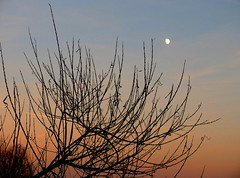 Reaching for the moon (Zandgaby) Tags: bluehour moon orange blue sky bush