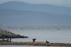 Cormorants & Eagles (Terrance Carr) Tags: 201201 brunswick ferry dncb port terry carr 20120109 2012 january terrycarr