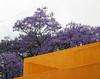 Jacaranda tree in bloom, Ajijic, Mexico (nikname) Tags: mexico travel travelmexico flowers flowersinmexico mexicoflowers jacarandatree ajijicmexico jacaranda jacarandaflowers floweringtrees mexicofloweringtrees