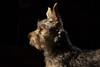 Mojo-2 (alhughes54) Tags: mojo yorkiepoo dog petportraiture puppies puppy smokeilluminations