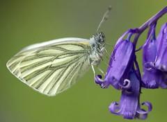 La piéride de la bryone, Pieris bryoniae (chug14) Tags: animal insecte papillon lepidoptera lépidoptères pieridae piéridés pierinae pierini piéridedela bryone piéridedelarabette pierisbryoniae