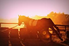 sunset (lunloou) Tags: horse horses sunset wild freedom animal animals nikon nikond3000 evening photography gold sun gallop