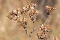 DSCF6508 (jolang3) Tags: stengel trocken vertrocknete blüten blüte pflanze natur outdoor winter fujifilm xt1