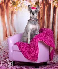 Bonnie3 (Shutters for Shelters) Tags: misfitsdogrescue schnauzers shuttersforshelters s4s jillt8 colorado dogs bonnie pink valentines chair