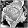 (Black and) White Rose (Jan 1147) Tags: whiterose blackandwhiterose rose roos bloem bloemen flower flowers natuur nature zwartwit zw bw blackandwhite monochrome belgium