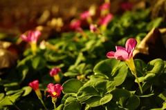 Blooming (davidffeal) Tags: flowers treboles autumn fall otoño galicia