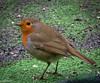 Rouge gorge... (Crilion43) Tags: réflex france véreaux divers paysage rougegorge jardin centre oiseaux canon objectif tamron 1200d cher bleue brouillard charbonnière herbe mésange nature