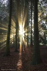 Christmas lights (Hector Prada) Tags: bosque niebla rayos luz pinar composición vertical hojas mistico naturaleza invierno paisvasco navidad forest fog mist sunbeams mystic nature hectorprada d610 atmosfera ambiente natural winter christmas