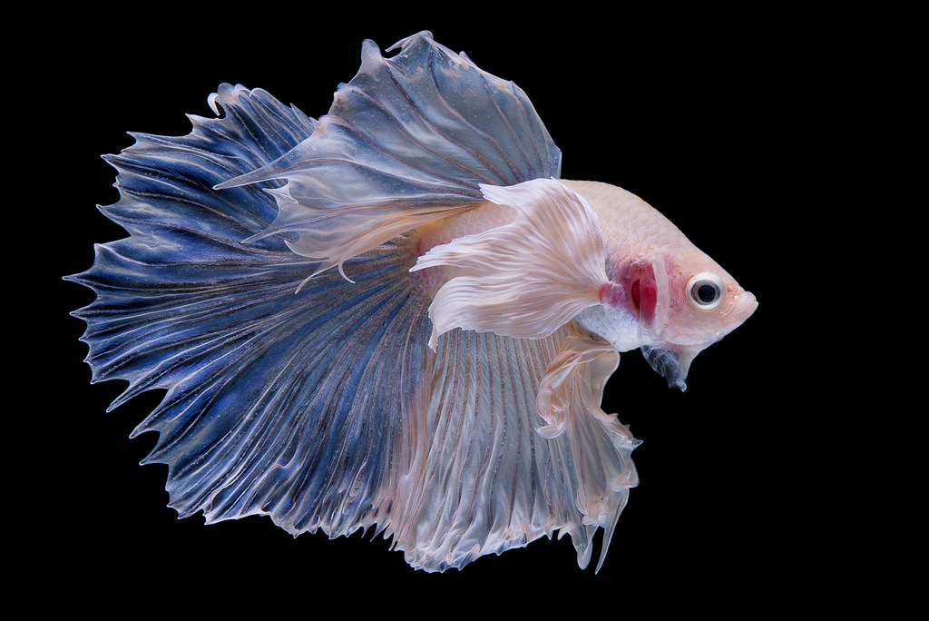 The world 39 s best photos of betta and pet flickr hive mind for Beta fish water