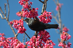 Tui in a Cherry Tree (bevanwalker) Tags: tree native endemic awesometrees