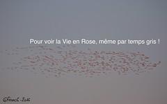 Pour voir la Vie en Rose, même par temps gris ! (6franc6) Tags: meilleurs voeux 2017 6franc6 explore flamant rose petite camargue petitecamargue occitanie languedoc gard décembre 2016