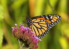 Denial (vtpeacenik) Tags: butterfly monarch september vermont