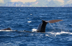 Sperm Whale (sminky_pinky100 (In and Out)) Tags: spermwhale whale mammal sea dominica tail fluke wildlife vacation travel caribbean tourism omot