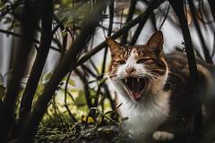 貓 (CLin4086) Tags: animal 貓 cat 台灣 taiwan canon 760d 50mm f18 基隆 十分 車站 動物
