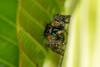 Jumping spider (mon_ster67) Tags: meal predator spider mon ©mon canon canoneosrebelt5i jumper jumpingspider boldjumpingspider daringjumpingspider macro closeup o00o oooo hairyspider crawler 8leggedfreaks arthropod arachnid arachnida ef100mmf28lmacroisusm macrophotography wildlife salticidae araignée araña saltarina macrofotografía plant garden backyard t5i colourful colorful