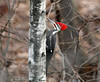 Pileated-Woodpecker-55w (egdc211) Tags: connecticutbird connecticutbirds canon connecticutwildlife birdwatcher bird backyardbirding birds naturewatcher newenglandbird nature newenglandbirds newenglandwildlife newenglandwildlifephotography ornithology outdoors pileatedwoodpecker woodpecker wildlife
