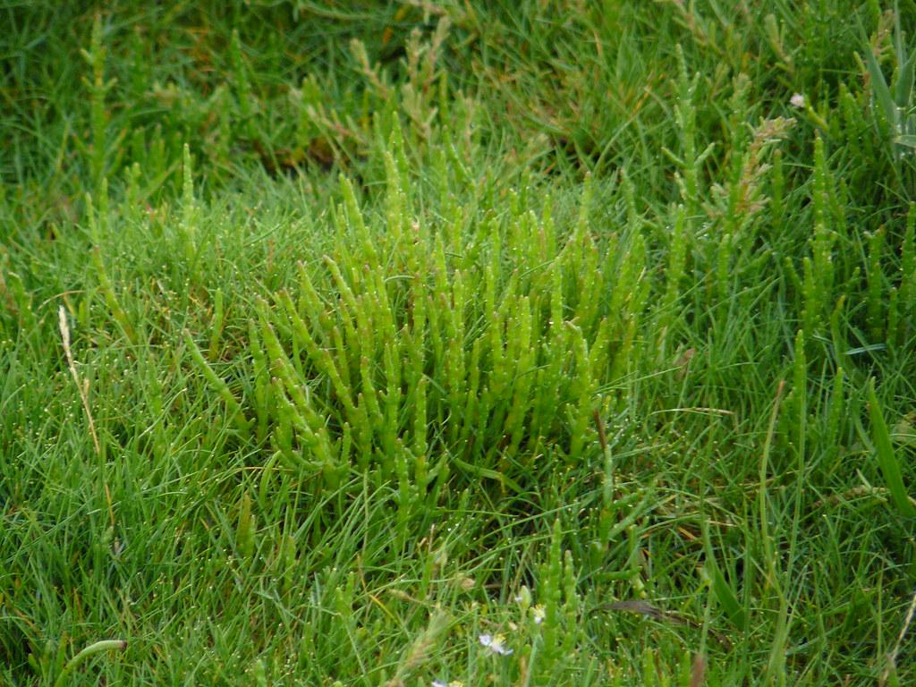 Salicornia europaea- Queller