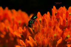 "green ""fly"" (mariola aga) Tags: summer meadow flower green fly closeup black orange infinitexposure thegalaxy"