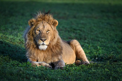 Young male lion in Ngorongoro Crater, Tanzania, East Africa (diana_robinson) Tags: youngmalelion lion wildlife animal ngorongorocrater tanzania eastafrica africa