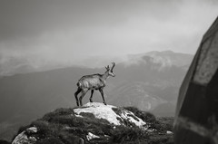 Chamois on the Edge (Hattifnattar) Tags: bw chamois romania wildlife piatracraiului nationalpark bokeh pentax fa77mm limited