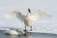 Beauty and Grace (Amy Hudechek (Happy Photographer)) Tags: swan wing flap winter snow water ice bird nature wildlife national elk refuge wyoming amy hudechek