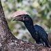 Silvery-cheeked Hornbill (Bycanistes brevis), male