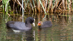 Coot and Chick (aj 1982) Tags: london centre chick barnes coot wwt wetland londonwildlifephotographyexplorers