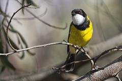 Golden Whistler 2015-05-30 (_MG_3171) (ajhaysom) Tags: australia melbourne australianbirds greenvale goldenwhistler pachycephalapectoralis canoneos60d sigma150600 woodlandshistoricpark