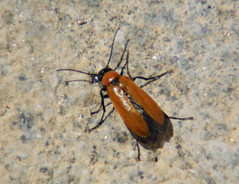 Beetlebum! ('cosmicgirl1960' NEW CANON CAMERA) Tags: red orange brown black nature insect grey spain earth espana soil costadelsol andalusia ojen yabbadabbadoo