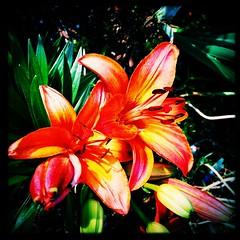Roadside lily. (Kindle Girl) Tags: orange flower macro square washington spring lily squareformat commute roadside collegepark iphone vsco johnslens iphone365 iphoneography hipstamatic instagramapp vscocam w40film