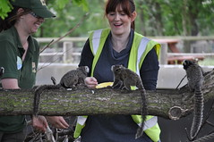 Feeding Marmosets ''gum'', very nutritious, as a Shadow a Ranger (littlestschnauzer) Tags: park morning shadow cute nature animals fun log nikon ranger wildlife yorkshire small may visit tourist experience monkeys treat attraction enclosure primates doncaster 2015 marmosets
