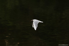 Hettemke (froydisphotos) Tags: natur fugl mse hettemke hettemse