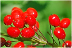 - - Poisonous Red - - (singhsardar) Tags: actaearubra baneberry redbaneberry rougenationalurbanpark rougepark rouge toronto ontario poisonousberries torontorougepark