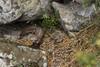 Steenmarter (stonemarten, Martes foina) (Thornspic) Tags: wildlife greece lesvos lesbos griekenland wildlifeimages zoogdier natuurfotografie canonef100400mmf4556lisusm martesfoina steenmarter stonemarten canoneos7d thornspic martinvanderkruijkphotography wwwthornspicnl