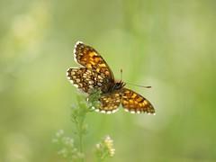 Le temps d'un change de regards (Titole) Tags: butterfly papillon shallowdof explored titole nicolefaton