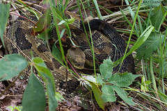 Timber Rattlesnake (commercialam3n) Tags: macro nature field animal canon timber reptile snake snakes rattlesnake crotalus horridus herping crote