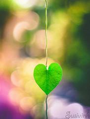 Finding hearts in Nature makes me happy - 207:365 (susivinh) Tags: plant planta hoja leaf heart bokeh vine corazón enredadera 100happydays
