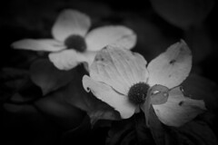 Shadow of a Wild Dogwood (Life_After_Death - Shannon Renshaw) Tags: life wood flowers blackandwhite bw dog white mountain black mountains flower detail macro art nature floral monochrome canon garden landscape botanical outdoors photography eos death mono blackwhite petals soft day natural gardening outdoor nevada sierra petal shannon chrome bloom after wildflowers dogwood dslr delicate botany wildflower canondslr canoneos heavenly intricate lifeafterdeath 50d shannonday canoneos50d eosdslr canoneos50ddslr lifeafterdeathstudios lifeafterdeathphotography shannondayphotography shannondaylifeafterdeath lifeafterdeathstudiosartandphotography shannondayartandphotography