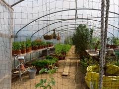 Polytunnel, Lower Lovetts Farm organic kitchen garden (karenblakeman) Tags: uk food vegetables reading july berkshire polytunnel knowlhill 2015 organickitchengarden readingfoodgrowingnetwork rfgn lowerlovettsfarm