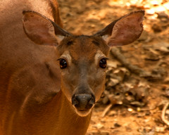 Doe (tommaync) Tags: nature face animal female nose nc eyes nikon wildlife northcarolina ears august doe deer chathamcounty 2015 d40