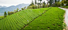 _SSU4998-Edit (Akito07) Tags: tea taiwan alimountain teapicking