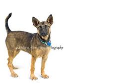 Rosie (Chrisseee) Tags: rescue dog pet animal female puppy homeless whitebackground law straydog adopt adoption lantaanimalwelfare