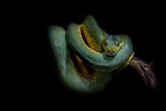 Python (WernerKrause) Tags: cwwwwernerkrauseeu 2016 python baumpython zoo köln cologne grün green schlange snake explore10