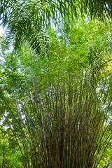 Zoo Miami - Bamboo (MarkusR.) Tags: mrieder markusrieder nikon vacation urlaub fotoreise phototrip usa 2015 usa2015 florida sunshinestate sonnenscheinstaat zoo miami bamboo bambus pflanzen plants